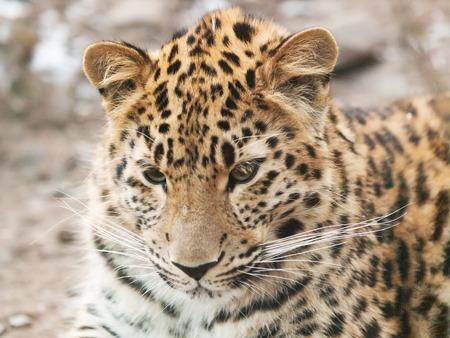 blackspotted: Portrait of Janav leopard - Panthera pardus