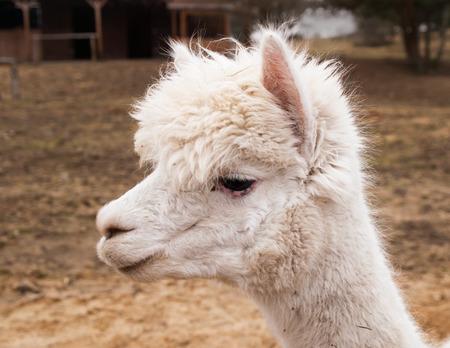 potrait: Potrait of lama guanaco