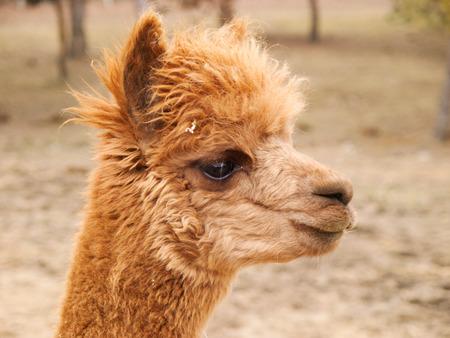 guanaco: Lama guanaco - lama glama