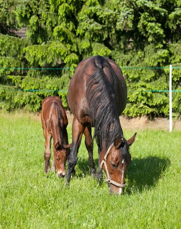 Mare and foal breed for sport on pasture