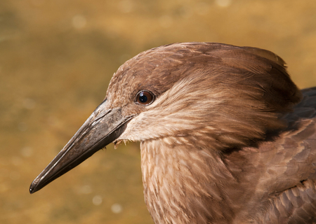 Portrait of hamerkop  Scopus umbretta