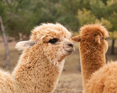 guanaco: Lama guanaco before shearing