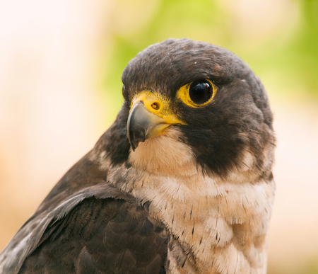 falco peregrinus: Head of peregrine falcon - Falco peregrinus  fastest animal in the world