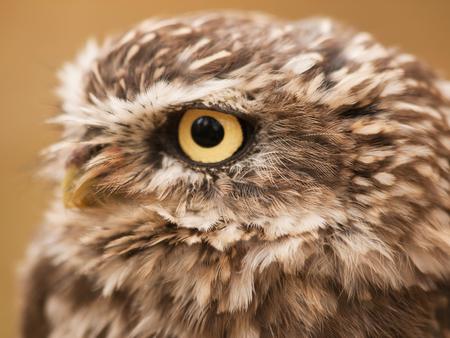 monogamous: Portrait ofLittle nother owl - Athene noctua