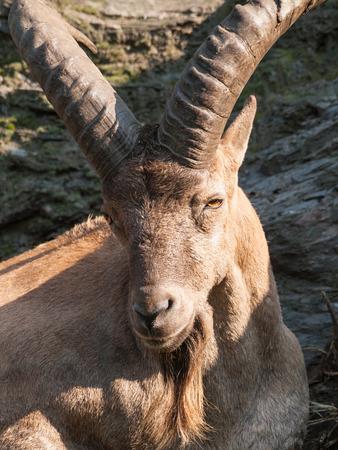 barbary: Ram of barbary sheep  Ammotragus lervia Stock Photo