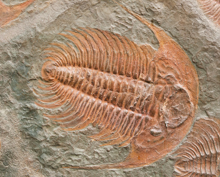 petrified fossil: Prehistoric fossiled trilobites from Barrandien in Czech republic Stock Photo