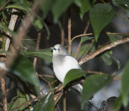the ornithology: White-shouldered starling - sturnia sinensis sitting on branch