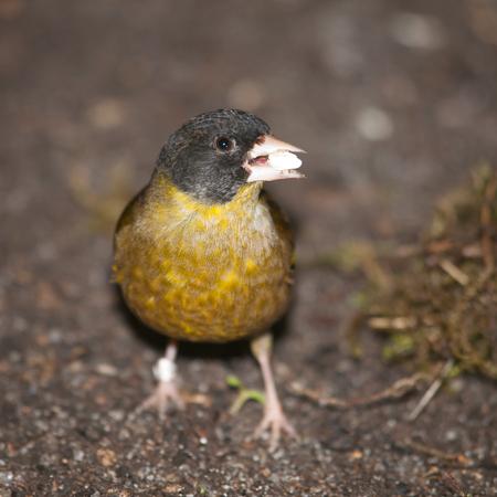 leiothrix: Pekin nightingale - Leiothrix lutea with seed in beak