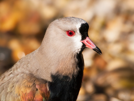 waterbird: Head of waterbird southern lapwing  Vanellus chilensis