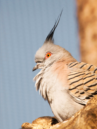 topknot: Head of australian Crested pigeon - Ocyphaps lophotes Stock Photo