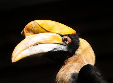 tropical evergreen forest: Portrait of grat hornbill - Buceros bicornis Stock Photo
