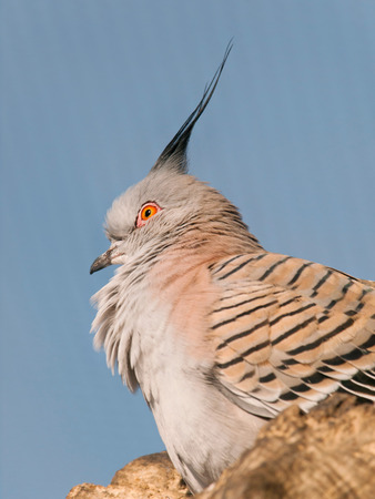 topknot: Portrait of australian Crested pigeon - Ocyphaps lophotes