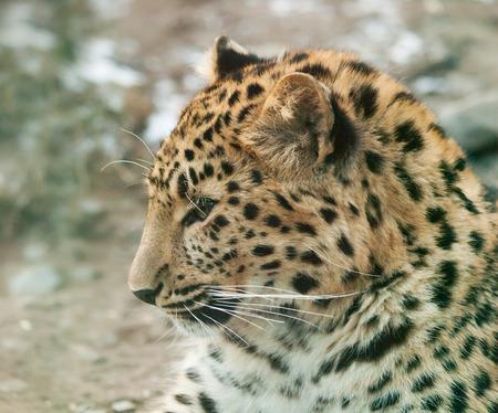 Portrait of Janav leopard - Panthera pardus