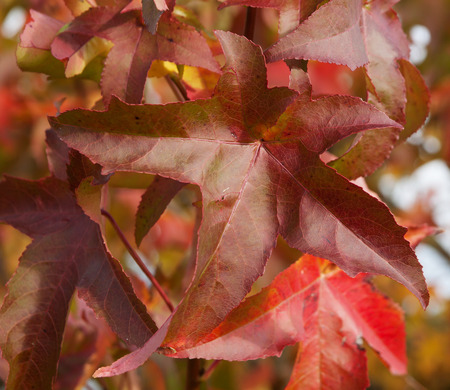 ornamental plant: Japanese creeper - Parthenocissus tricuspidata grown as a climbing ornamental plant