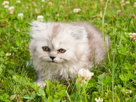 Kitten of persian cat lying on the grass