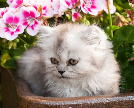 Kitten od persian cat lying in clay pot with flowers