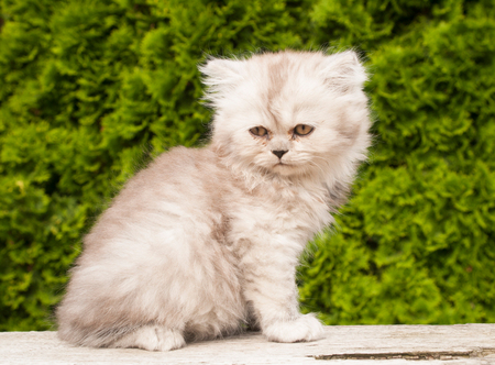 persian cat: Portrait of persian cat kitten sitting in the garden Stock Photo