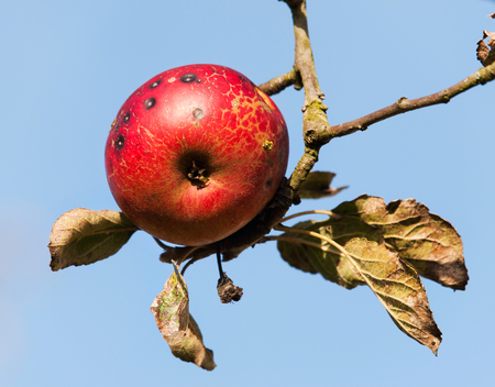 Growned red apple on the tree Stock Photo