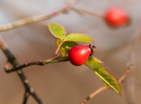 Ripened hip of dog rose in autumn