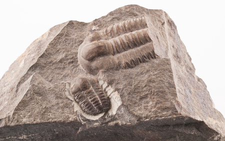 Fossil of a trilobites (Ellipsocephalus hoffi) from the Cambrian of Czech Republic