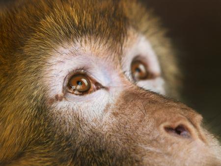 barbary ape: Detail of face of  Barbary ape -  Macaca sylvanus