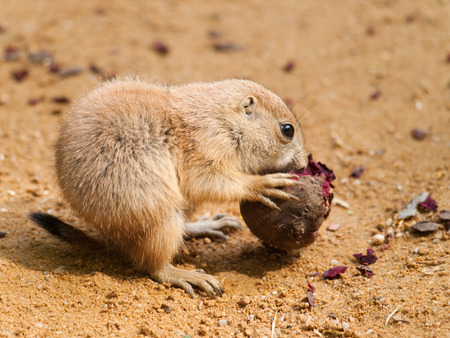 Cynomys ludovicianus - baby of black tailed prairie dog eating beet