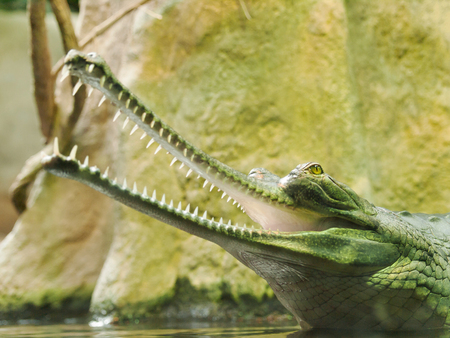 lacerta: Gharial - Gavialis gangeticus - jaws with 110 teeth in thin  snout - critically endangered in IUNC Red list Stock Photo