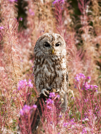 Brown owl among flowers on the meadow - Strix aluco