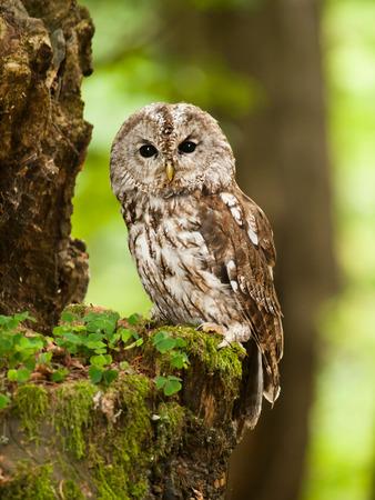 Jeune chouette hulotte dans la forêt - Strix aluco Banque d'images - 65765563