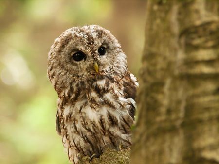 tawny owl: Striw aluco - tawny owl looking from behind of tree