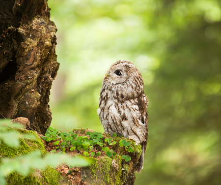 tawny owl: Brown owl in forest looking up to tree - strix aluco