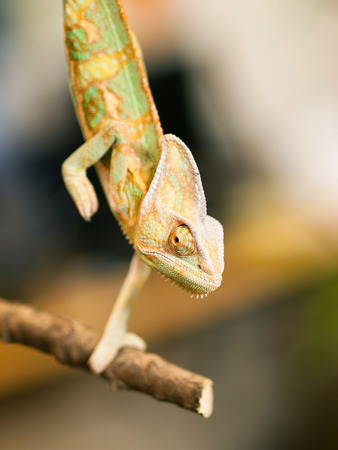 omnivore animal: Young Yemen chameleon on the branch - Chameleo calyptratus Stock Photo