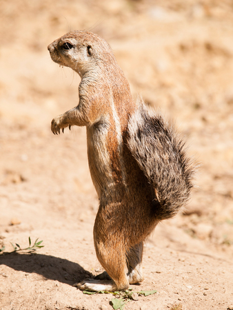cape ground squirrel: South African ground squirrel - Xerus inauris - watch neighbourhood closely