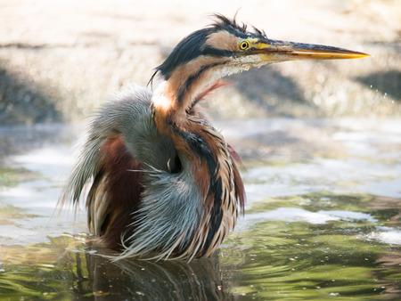 연못 - Ardea purpurea에 목욕을하는 보라색 헤론