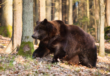 Usrsus arctos - Common brown bear in forest in springtime