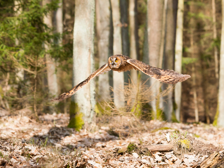 spreaded: Portrait of long-eared owl with  spreaded wings out - Asio otus Stock Photo