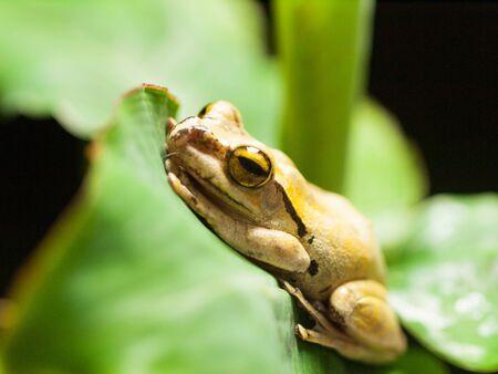 Common Tree Frog on the leaf - Rhacophorus Leucomystax