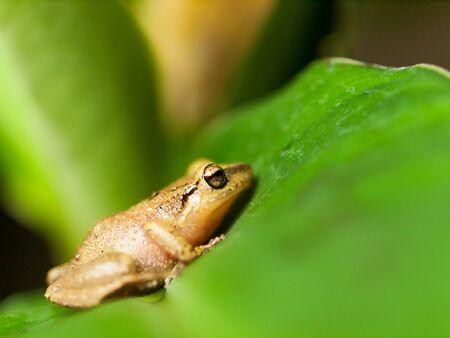 Common Tree Frog on the leaf - Hyla leucomystax