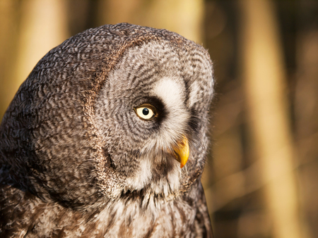 Detail of head of geat grey owl - Strix nebulosa