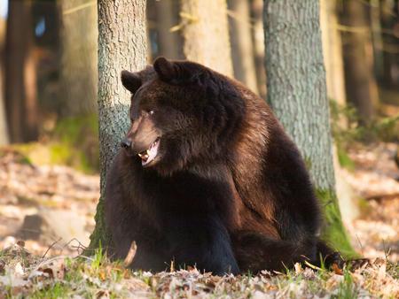 Portrait of Eurasian brown bear - Ursus arctos