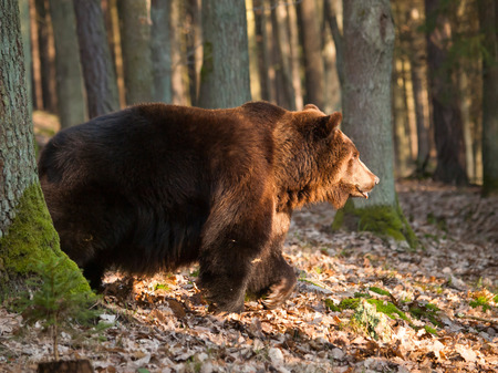 Common brown bear walk in forest in springtime - Ursus arctos