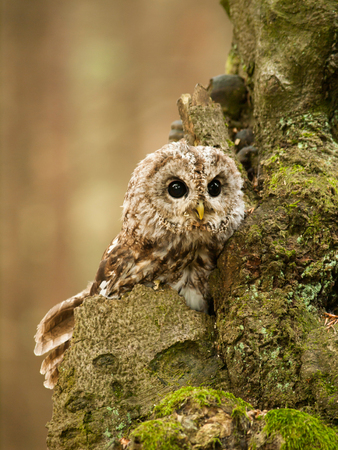 Strix aluco - funny look on young tawny owl Stock Photo