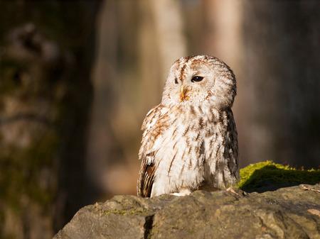 Tawny owl sitting on rock - Strix Aluco Stock Photo