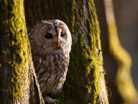 Portrait of tawny owl between two trees - Strix Aluco