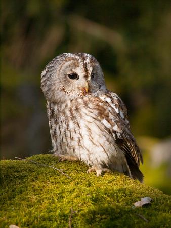 Tawny owl sitting on rock with moss - Strix Aluco Stock Photo