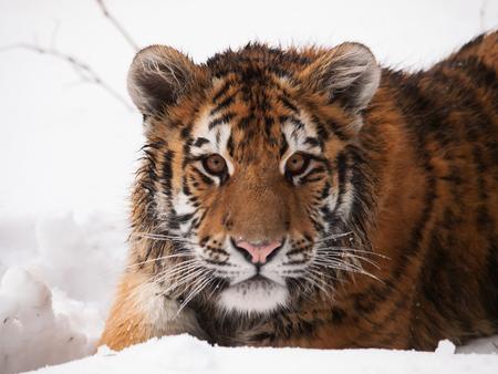 Detalle de la cabeza del youg siberian tiger en invierno - Panthera tigris altaica - en peligro de extinción en la Lista Roja IUNC