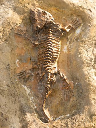 Seymouria baylorensis - articifial cast van fossiel uit Texas, USA Stockfoto