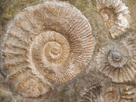 Groep Scaphites - geslacht van uitgestorven cephalopod uit Marokko Stockfoto