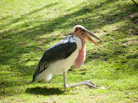 Marabou stork with open beak  - Leptoptilos crumeniferus - sitting on the grass