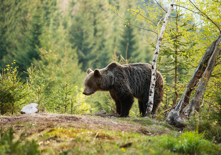 Brown bear in Mala Fatra mountains in Slovakia - Ursus actor Stock Photo